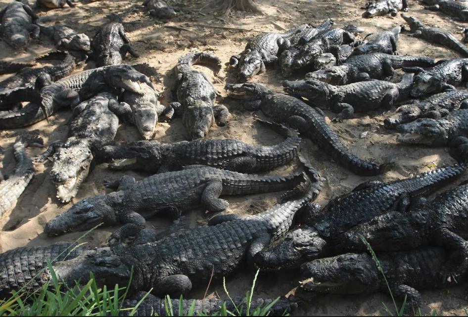 Aankal Jaakkirathai Crocodiles